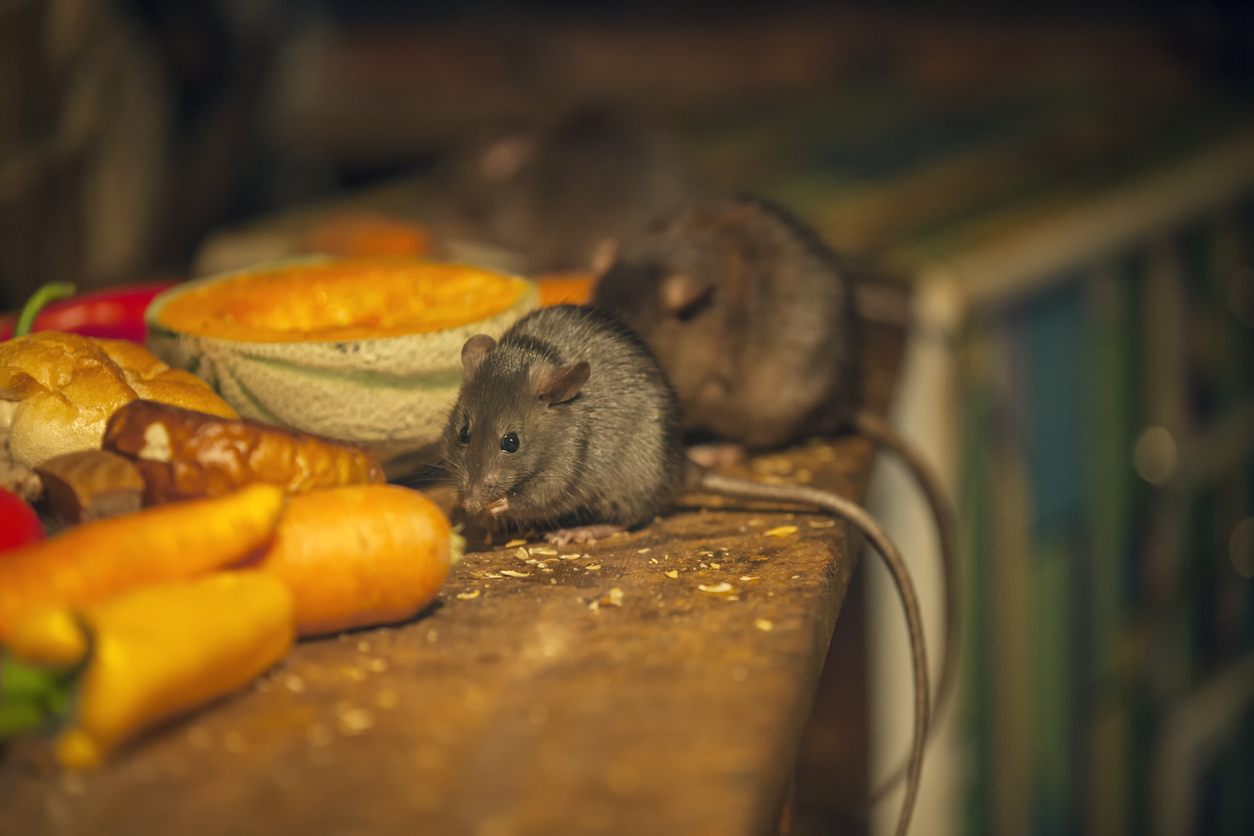 rodent eating in kitchen