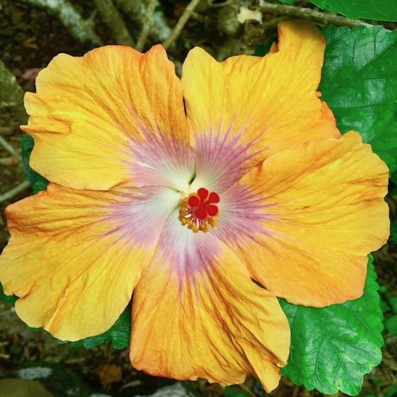 mangohibiscus