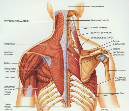 Image result for shoulder blades