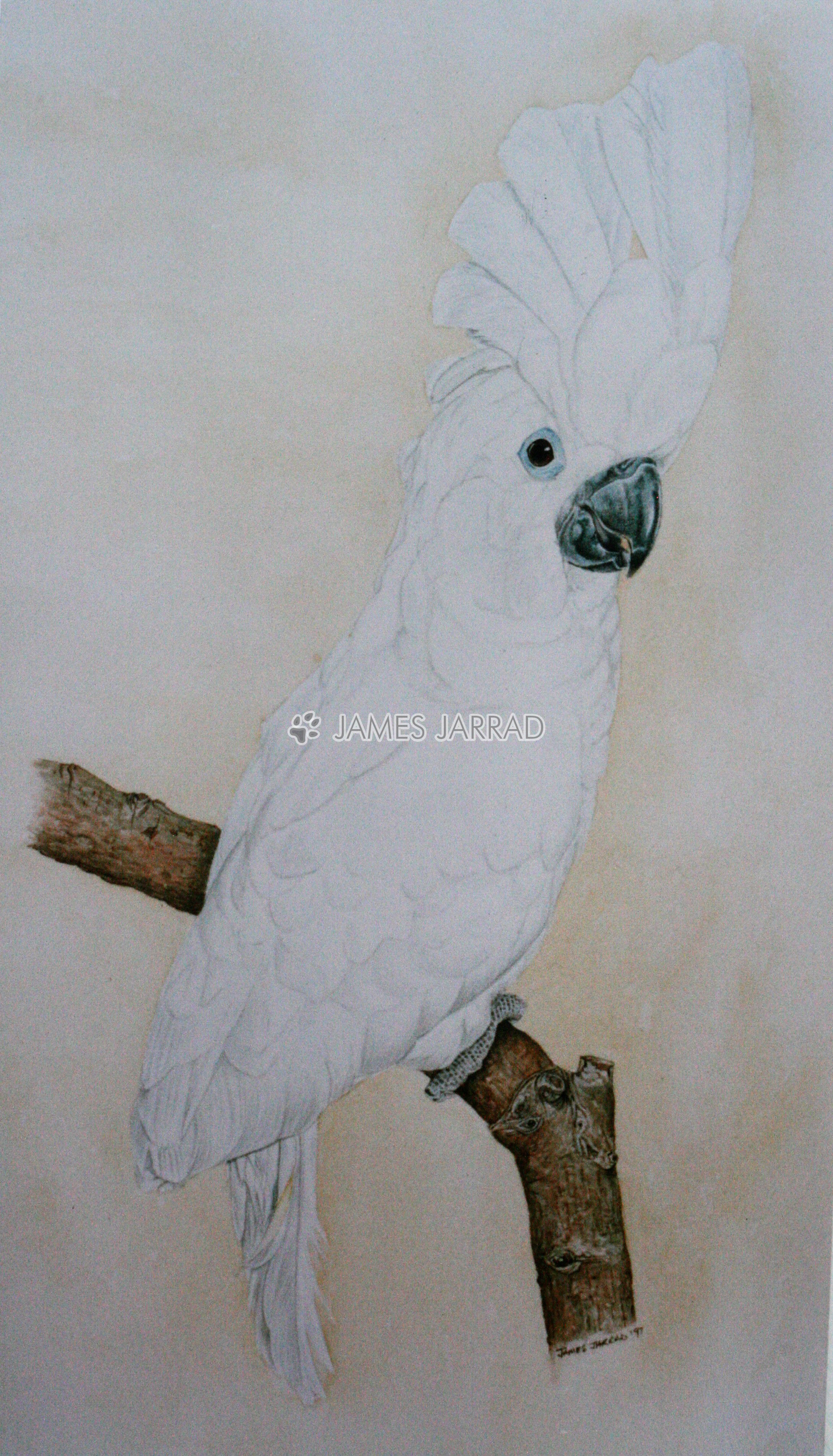 Cockatoo.jpg