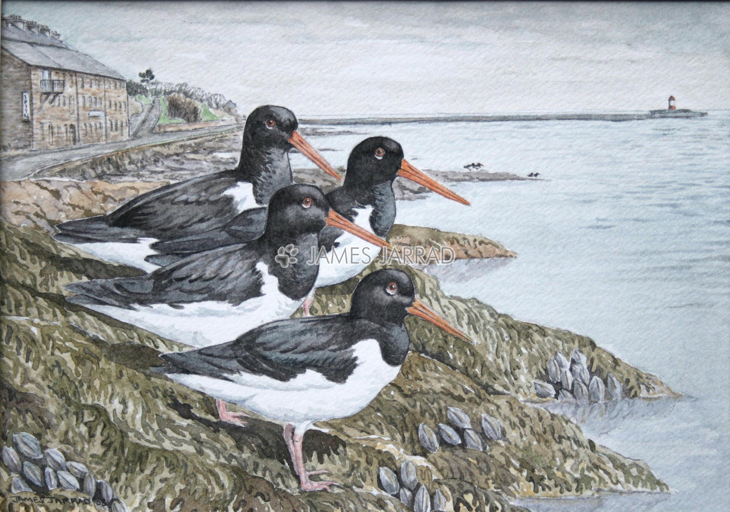 Oystercatchers.jpg