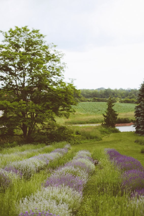 lavender_sm-1683.jpg
