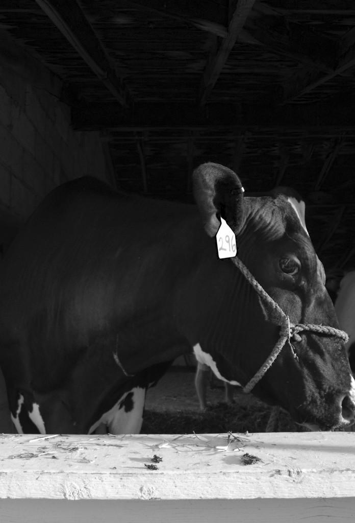 black_white_cow-696x1024.jpg