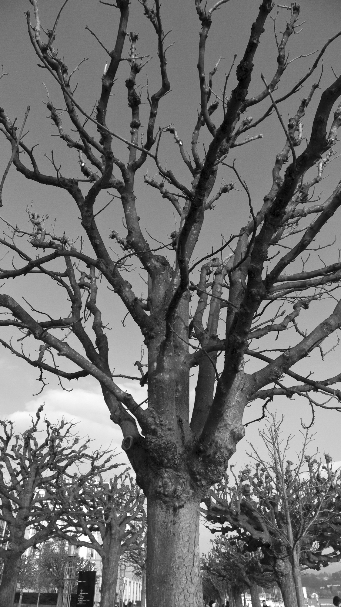 lucerne_trees.jpg