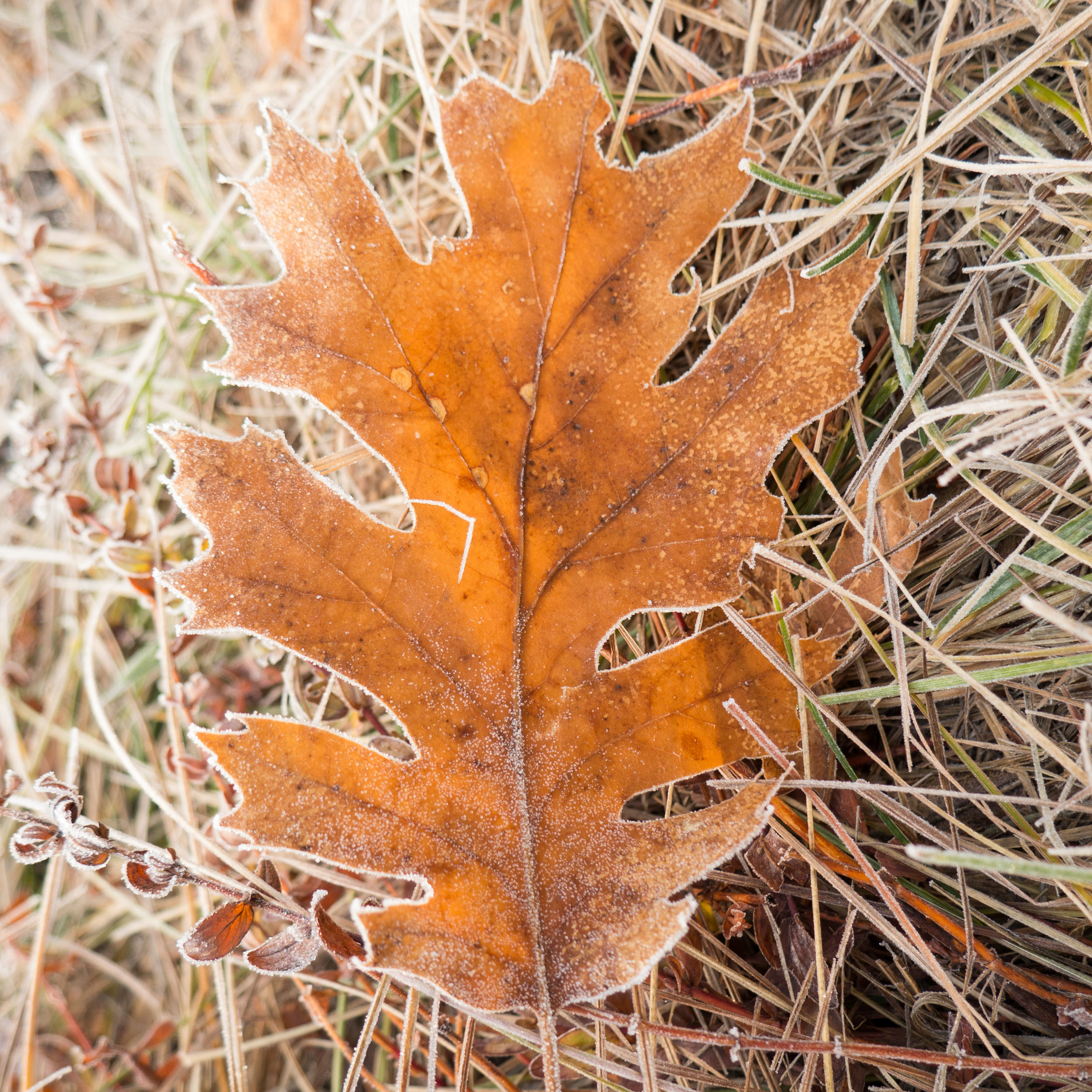 frozen_leaf1.jpg
