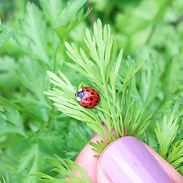 Who doesn't love a good ladybug?! 🐞 Especially when she's managing your garden pests for you alongside her pal the earwig 😝  If you ever find yourself with an aphid invasion did you know you can buy a bag of ladybugs at your local garden centre?! I paid $12 at Bylands and they got to work at sunset. A few weeks later I had hundreds of baby nymphs that would soon be the next gen of ladybugs. They just keep on reproducing and fighting the good ORGANIC fight for you in the garden.  Do the world 🌎 a solid and hire an army of these gorgeous ladies next time you need to get the upper hand in your garden.  #ladybugsofinstagram #organicgardeningmethods #thinkbeforeyouspray #tryitforyourself * * * * * #groworganically #thatgardenlife #plantagarden #eatorganic  #eatpurely #growyourownfood  #healthychoices #healthyliving #cleanliving #holisticlifestyle #consciouslifestyle #inspiration #gardencare #positivelife #powerofpositivity #gratitude #grateful #chooselove #takeachance #bekindtooneanother #idontlikebugs #iliketheseonesthough #kindnessisfree