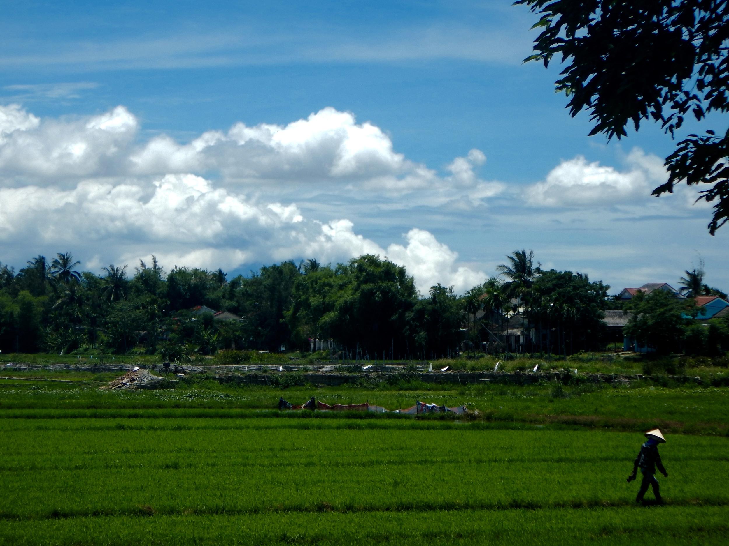 Rice field, Hoi An, 2016.