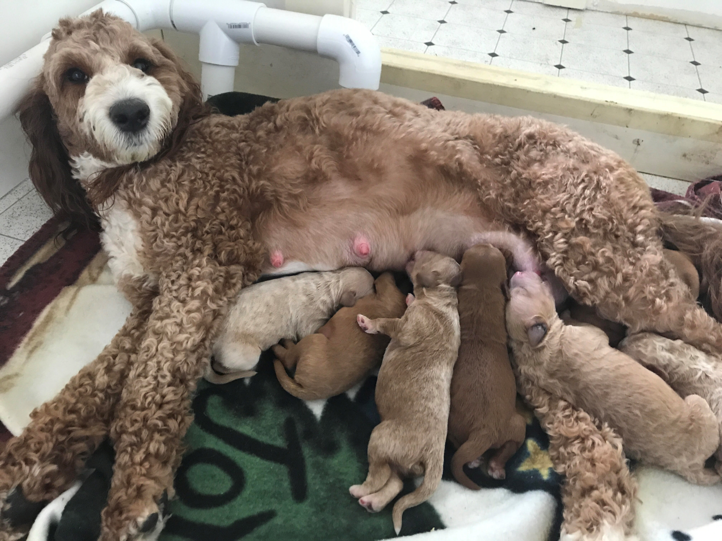 Liberty with pups - 2 days old.png