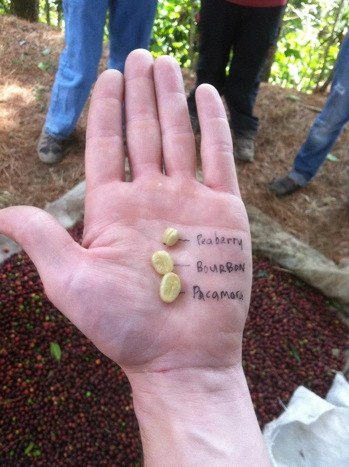 Visualization of size difference in varieties: Peaberry [a genetic mutation], Bourbon, & Pacamara.