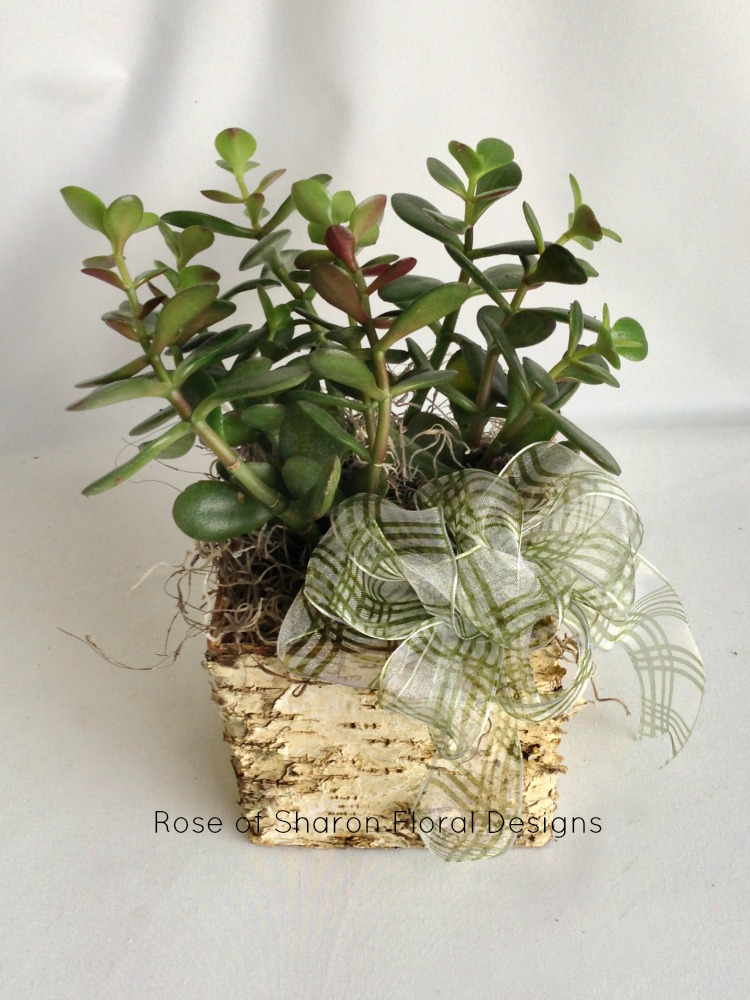 Jade Plant in Birch Wood Planter, Rose of Sharon Floral Designs