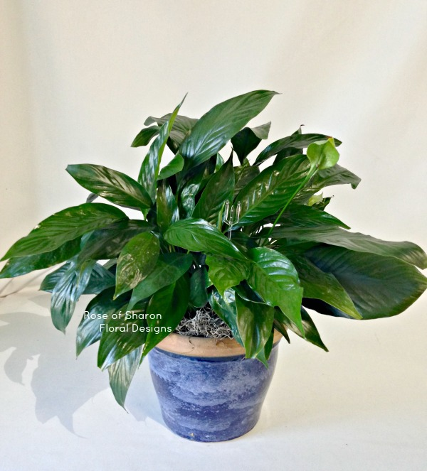Peace Lily, Rose of Sharon Floral Designs