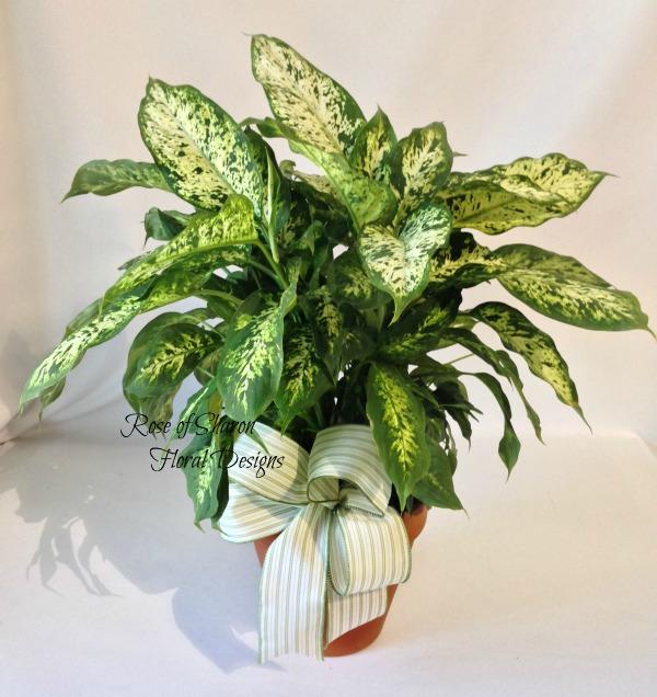 Dieffenbachia, Rose of Sharon Floral Designs