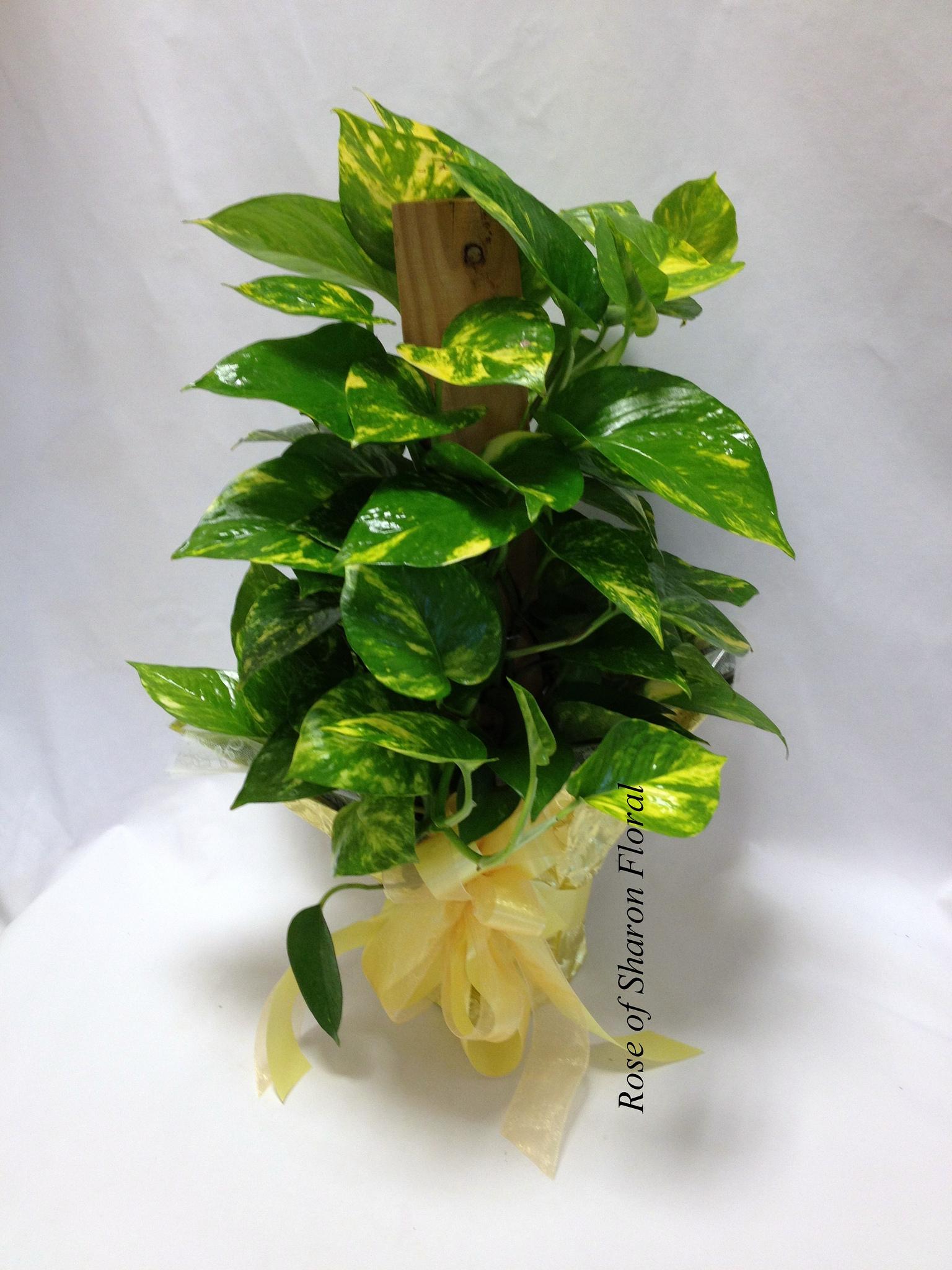 Pothos, Rose of Sharon Floral Designs