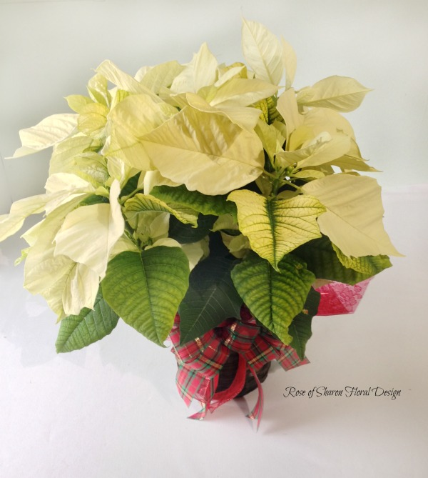 Poinsettia, Rose of Sharon Floral Designs