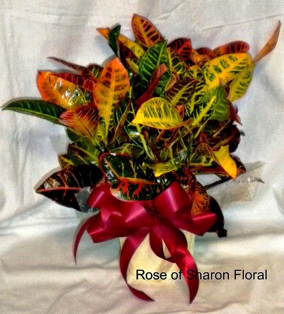 Croton-%2BRose%2Bof%2BSharon.jpg