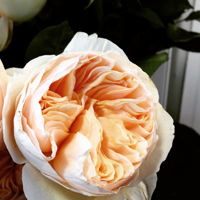 Single Garden Rose