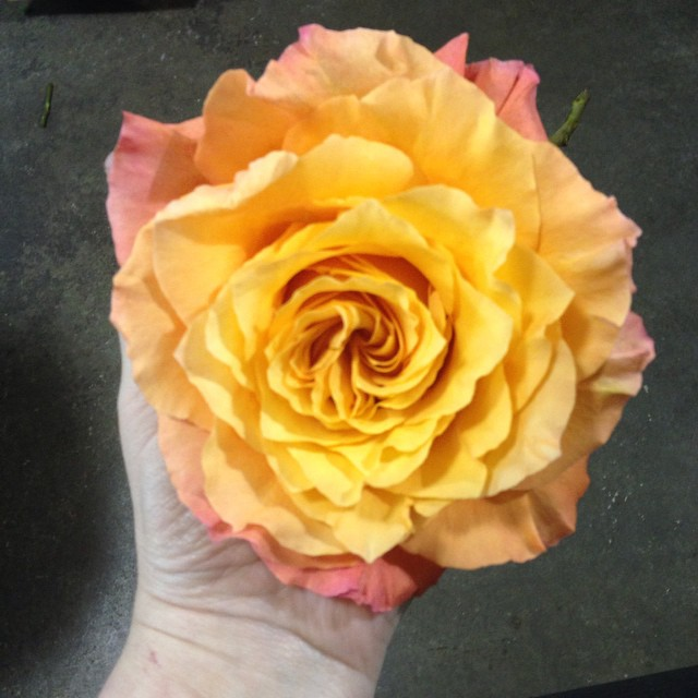 'Free Spirit' rose