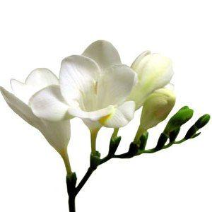 whiteFreesia.jpg