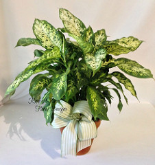 Chinese Evergreen House Plant