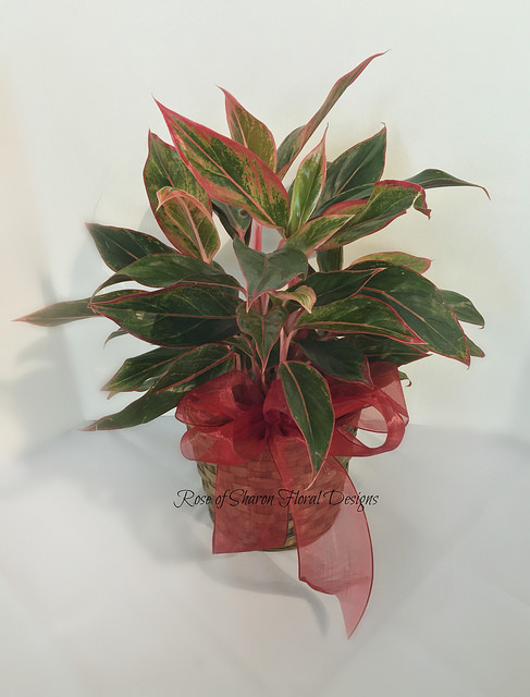 Red Aglaonema Potted Plant