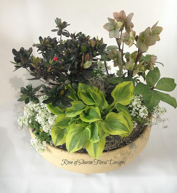 Azalea & Hellebores Mixed Garden Planter