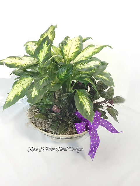 Chinese Evergreen Mixed Garden Planter