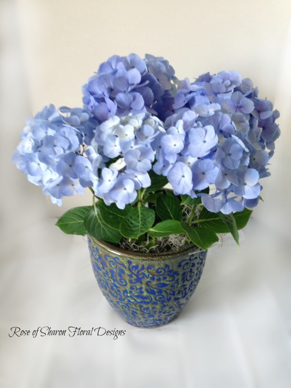 Hydrangea Potted Plant