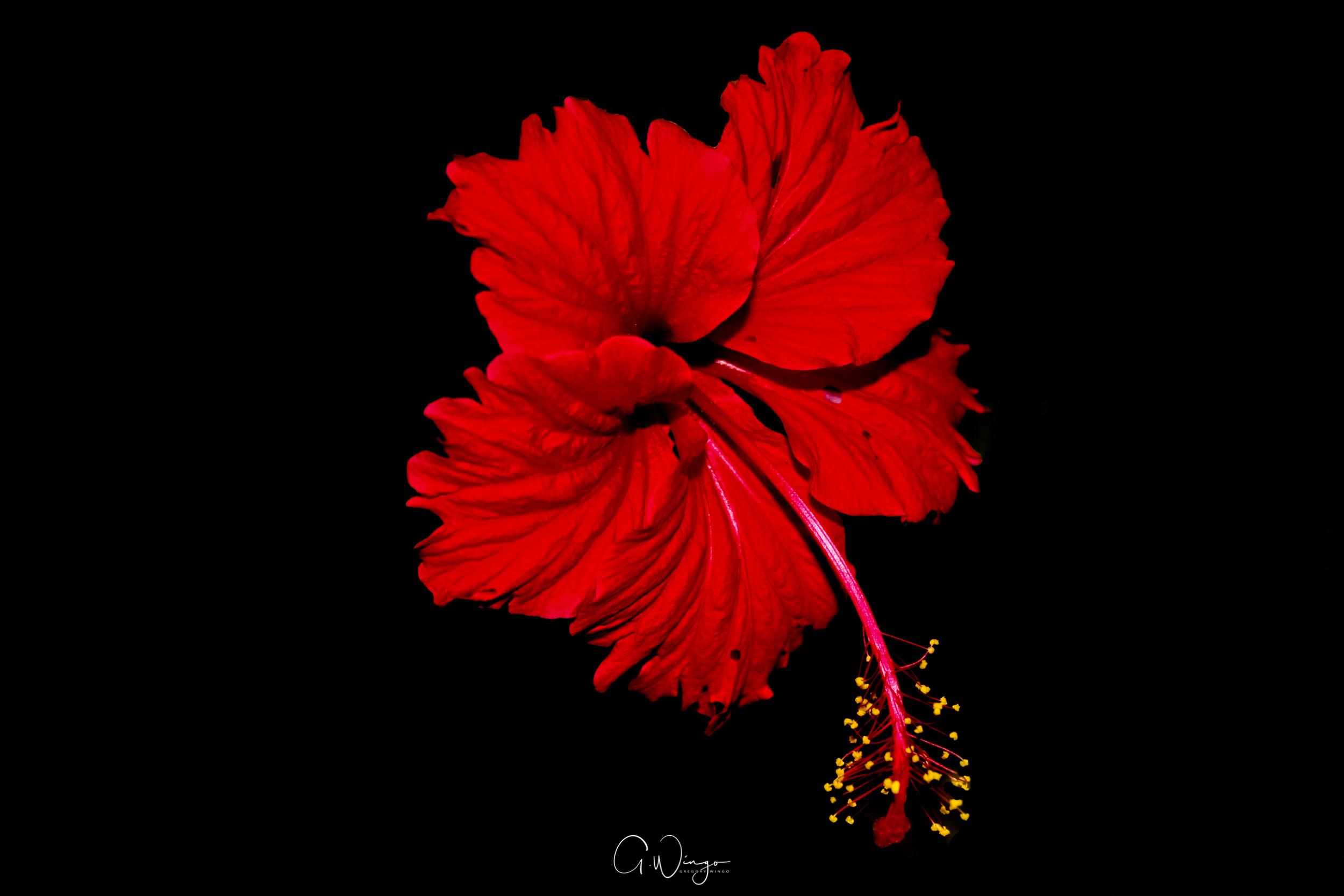 Fire Hibiscus