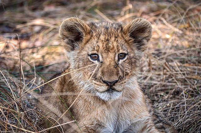 Found this four month old lion cub in the shade of a tree, hiding from buffalo with her big sister. The whole pride had been scattered due to their presence, and with no one but her sister to keep company, thought we'd better high tail it out of there before ma and pa returned! . . . . . #watchout #lion #lion #cub #pride #Africa #Zambia #liuwaplains #nature #adventure #naturephotography #nationalgeographic #bigcat #shade #safari #photooftheday #exploretocreate #wild #worldlionday #bigcatconservation #bigcatinitiative
