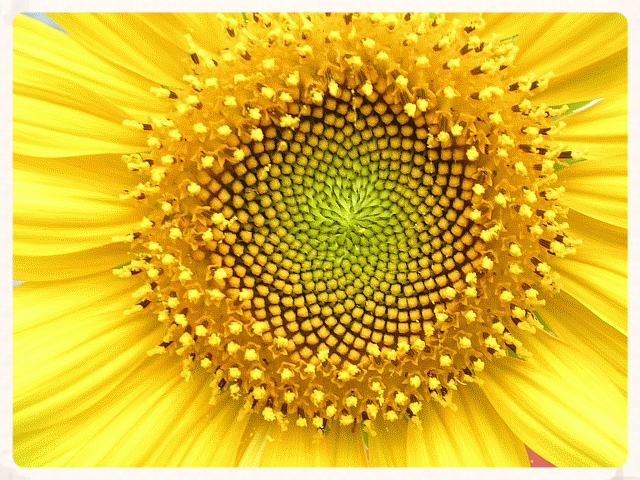 Image by L. Shyamal. Helianthus.