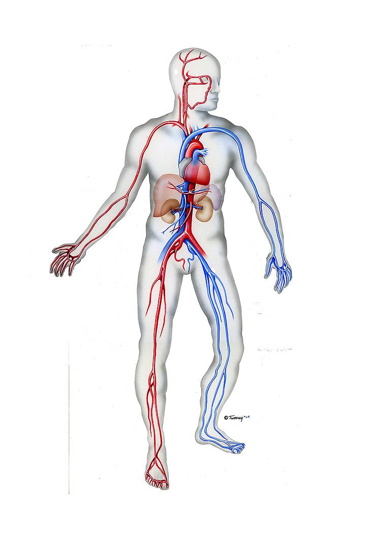 ATLSQUIBBcardiovasularman150.jpg