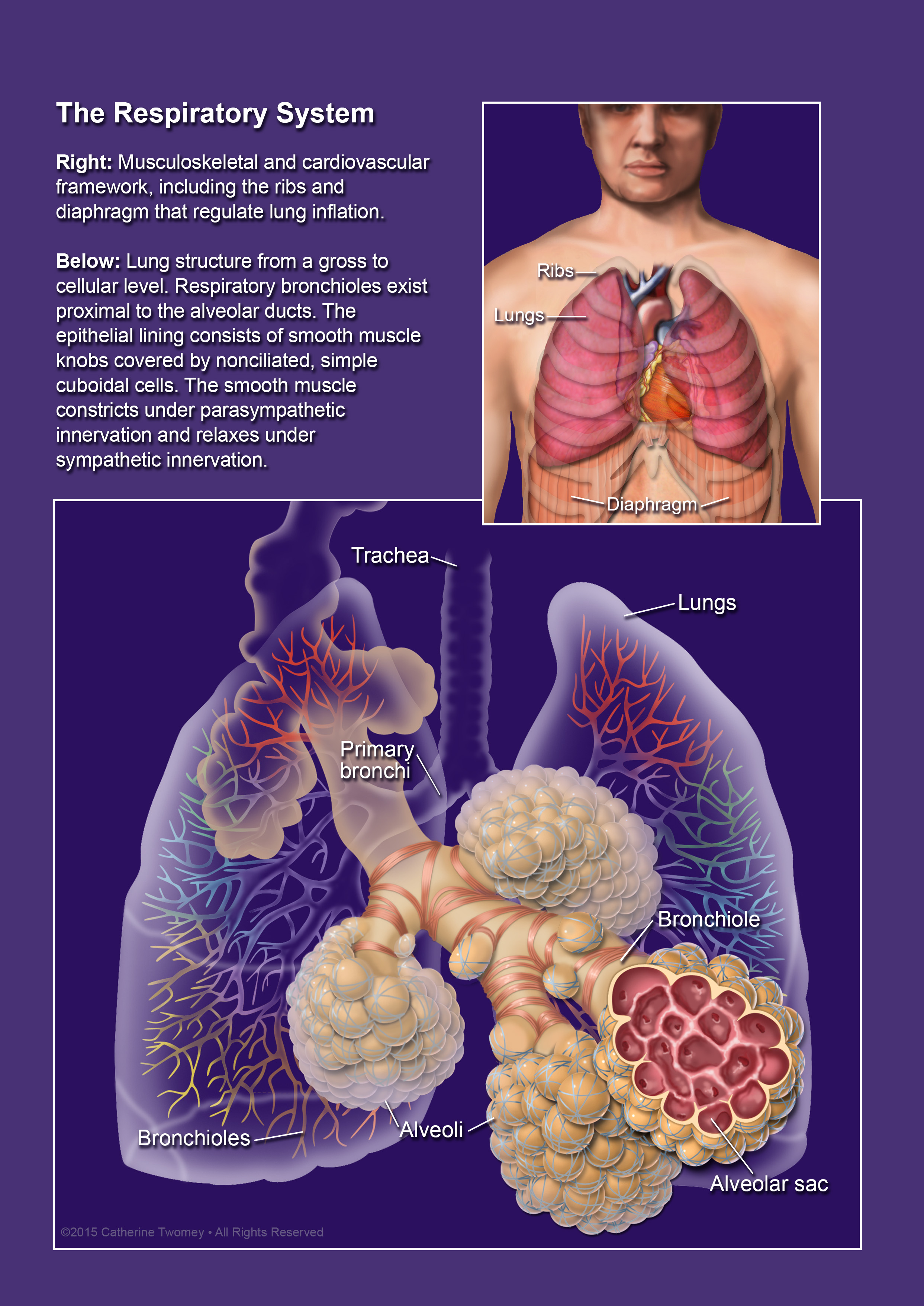RespiratorySystemGrossandCellular.jpg