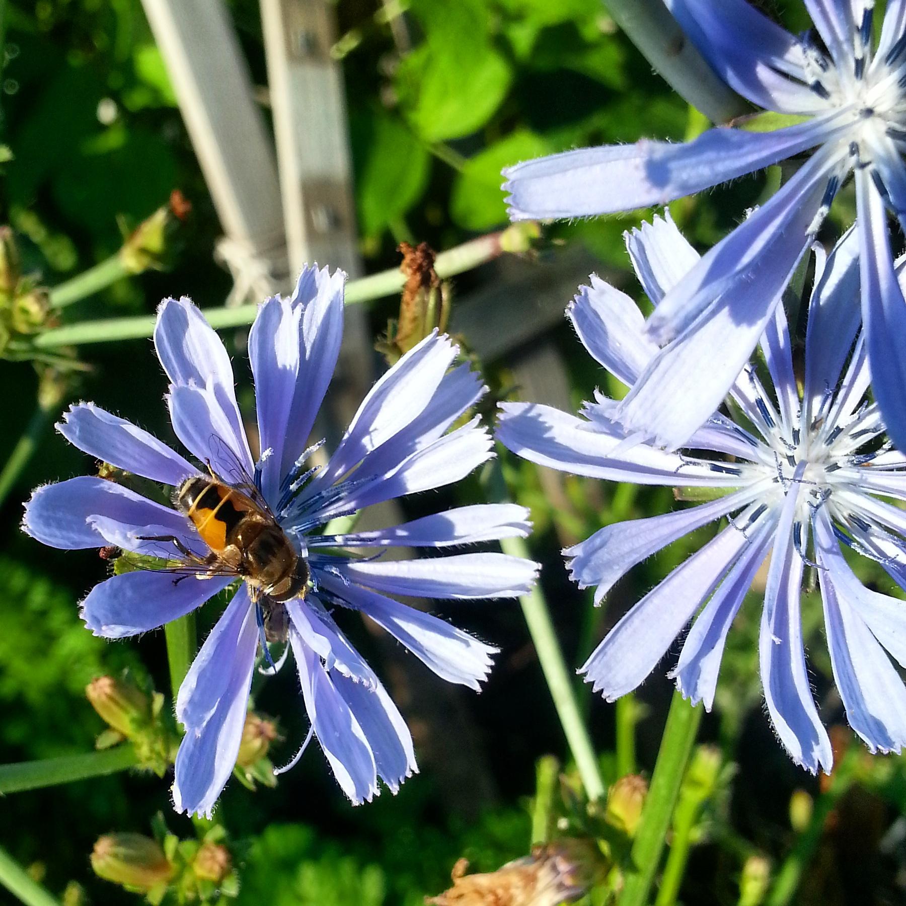 A happy bee enjoying a radicchio flower.