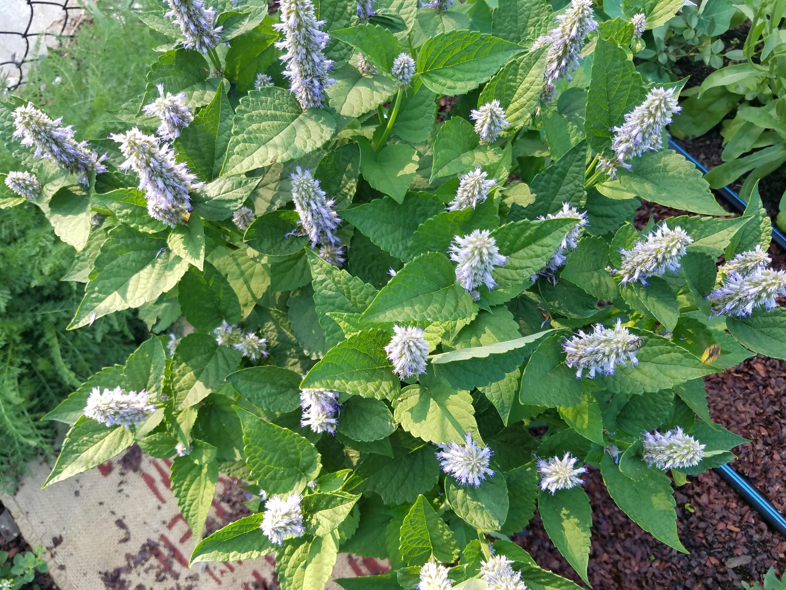 Agastache (Licorice Mint)