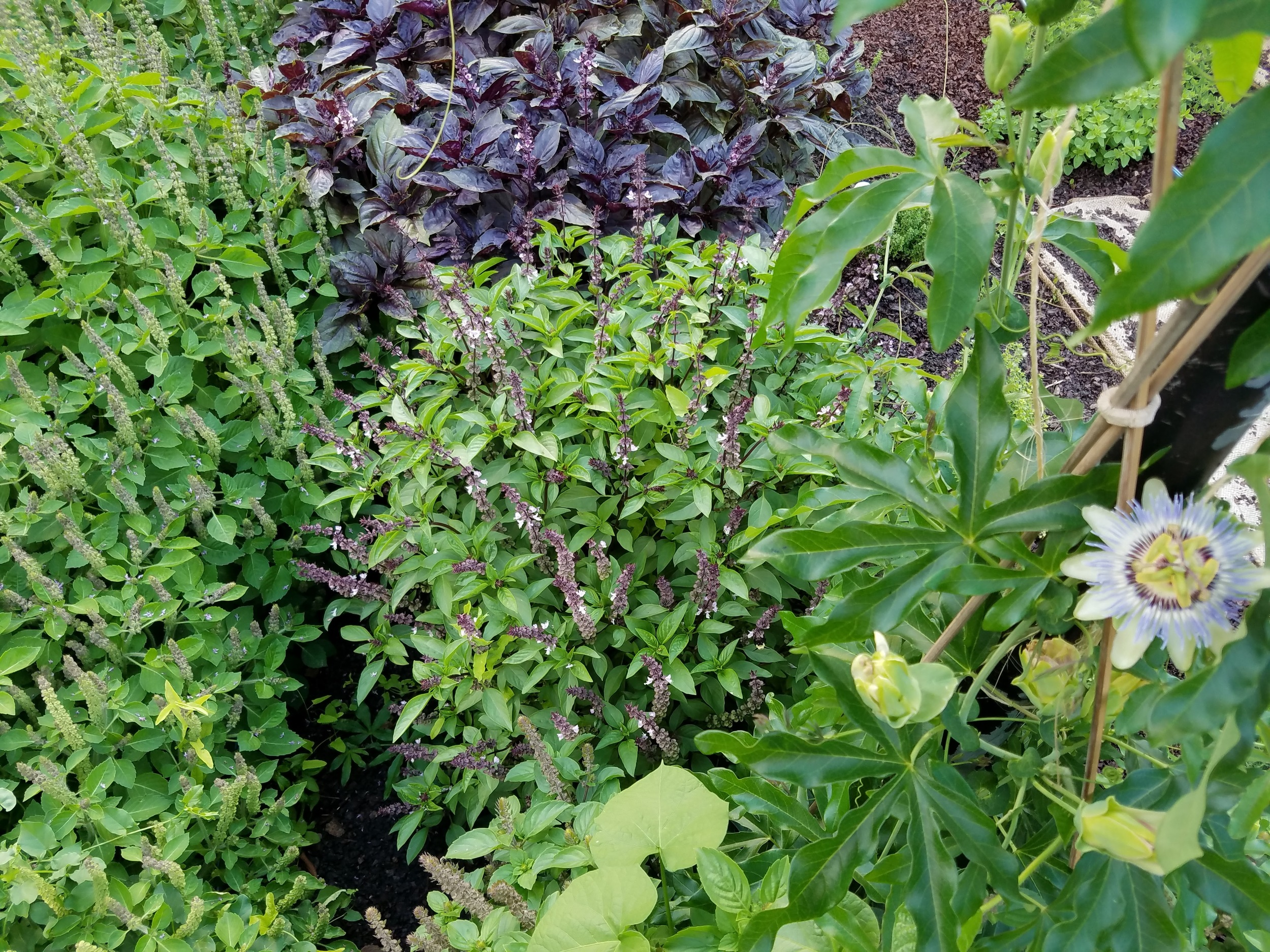 Passion Flowers and Basil