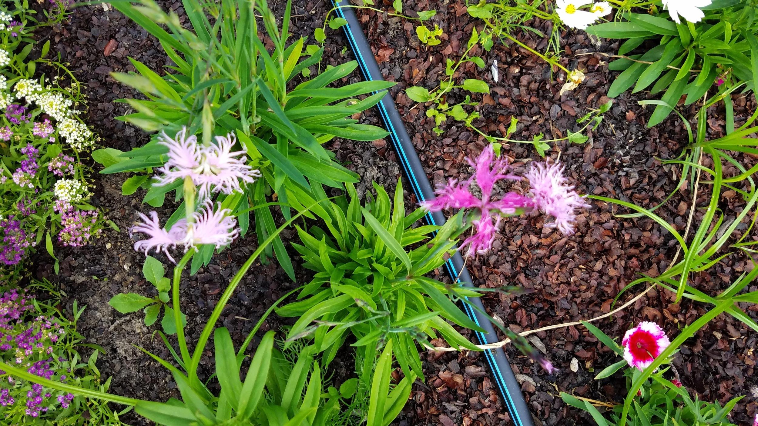 Fringed Dianthus
