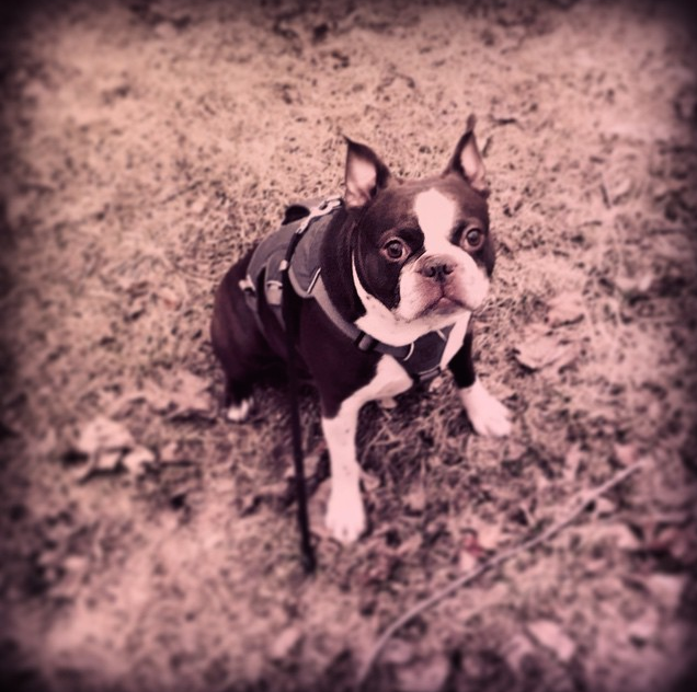 Boston Terrier, Chicago and Suburbs, Dog Training, Trainer, Obedience, Behavioral Problems