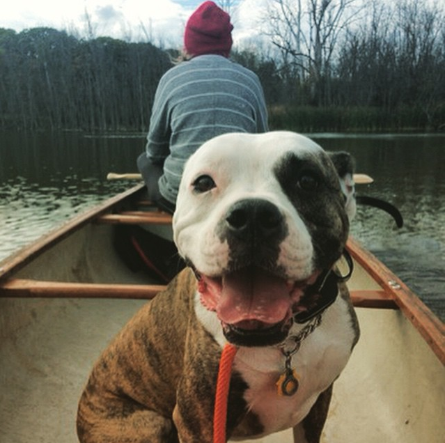 Olde English Bulldog, Off Leash, Chicago and Suburbs, Dog Training, Trainer, Obedience, Behavioral Problems, Dogs in canoes