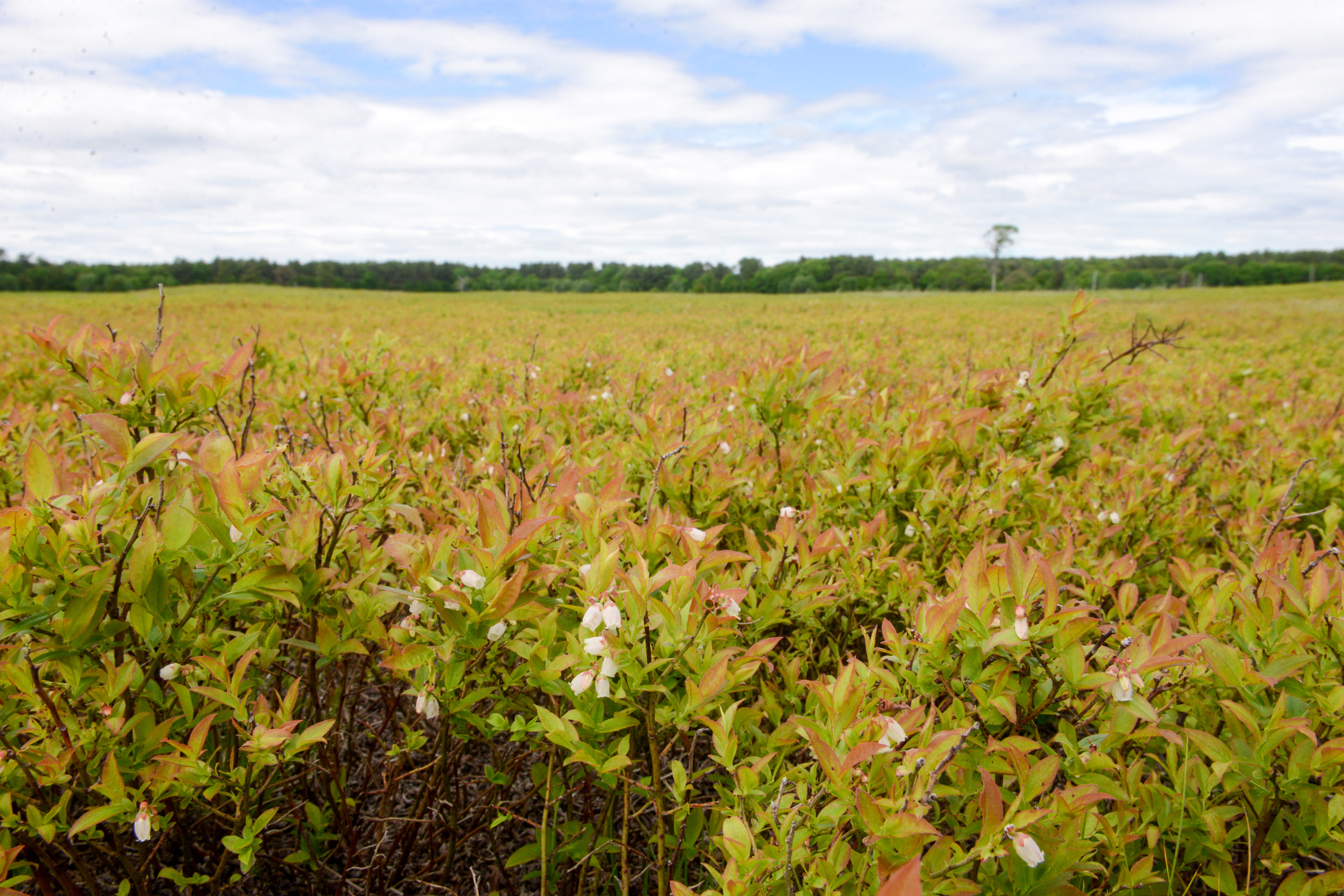 Crystal Spring Farm wild blueberry fields
