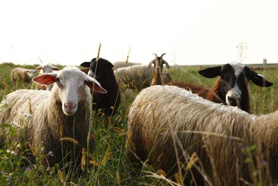 Wyebrook- Sheep_9161 Credit Jason Varney.jpg