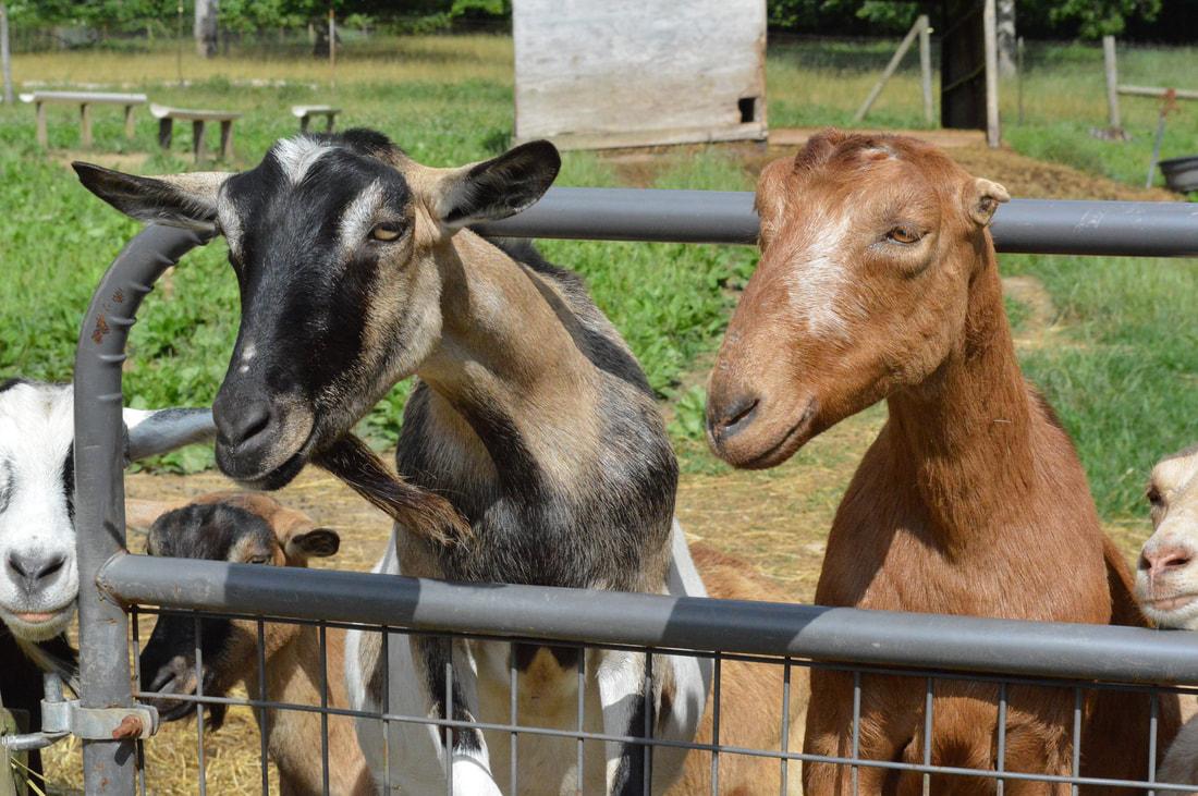 RMC goats.jpg
