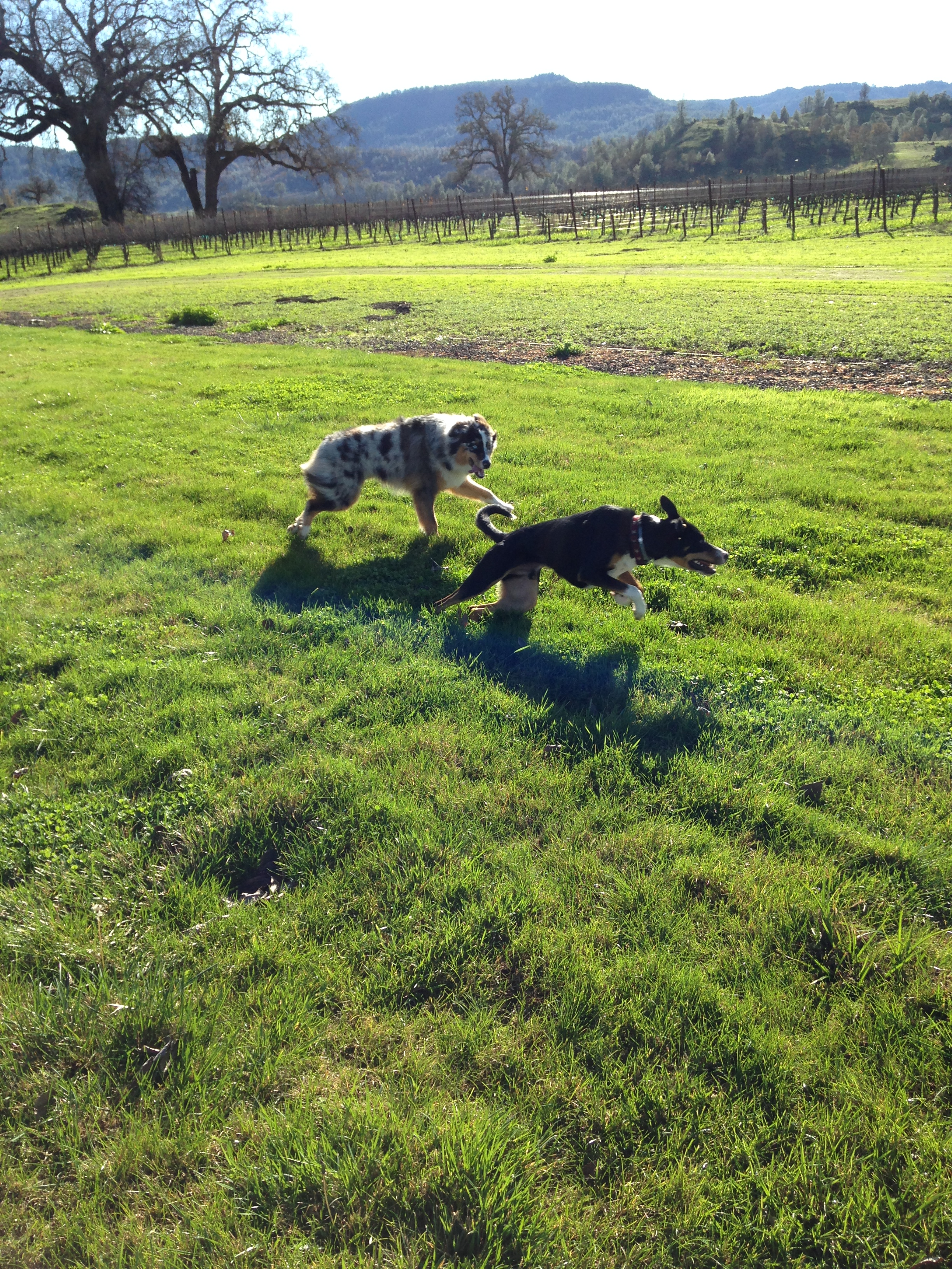 Levi and Brody playing in the vineyards.
