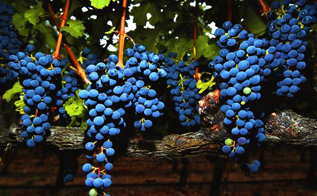 bcellars-vineyard-3.jpg