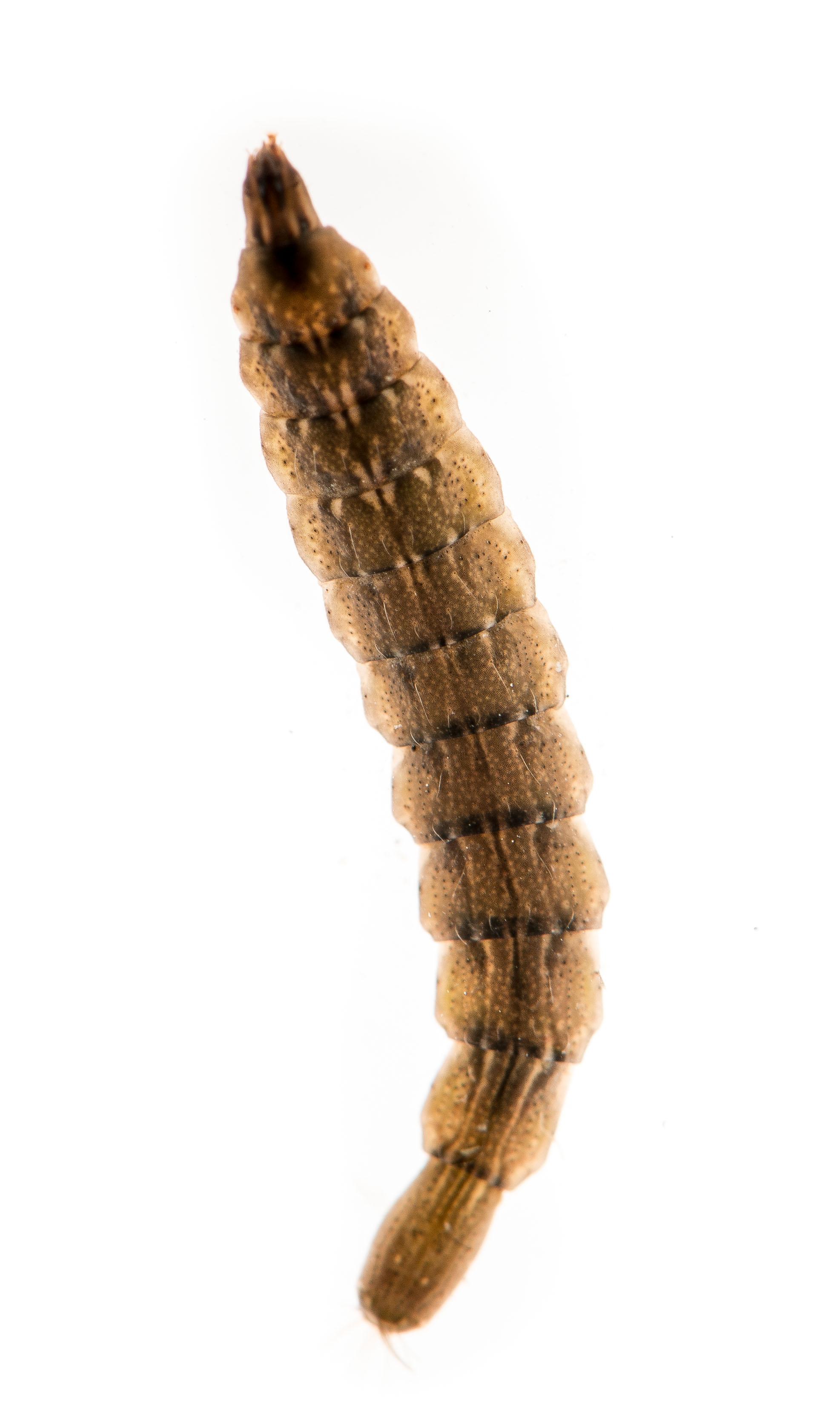 Stratiomyidae_09.jpg