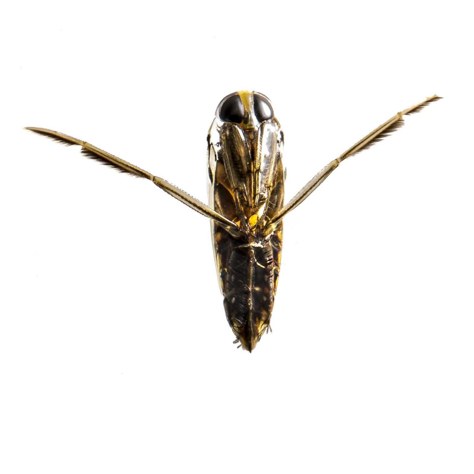 notonectidae_2.jpg
