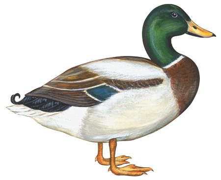 5dfbe3678cad5db5c31095f42843bd48--duck-illustration-duck-recipes.jpg