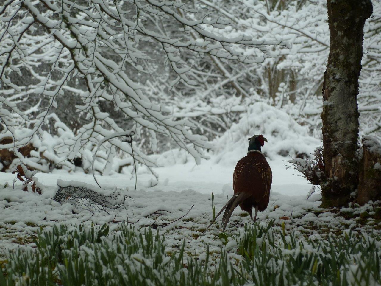 snow pheasant.jpg