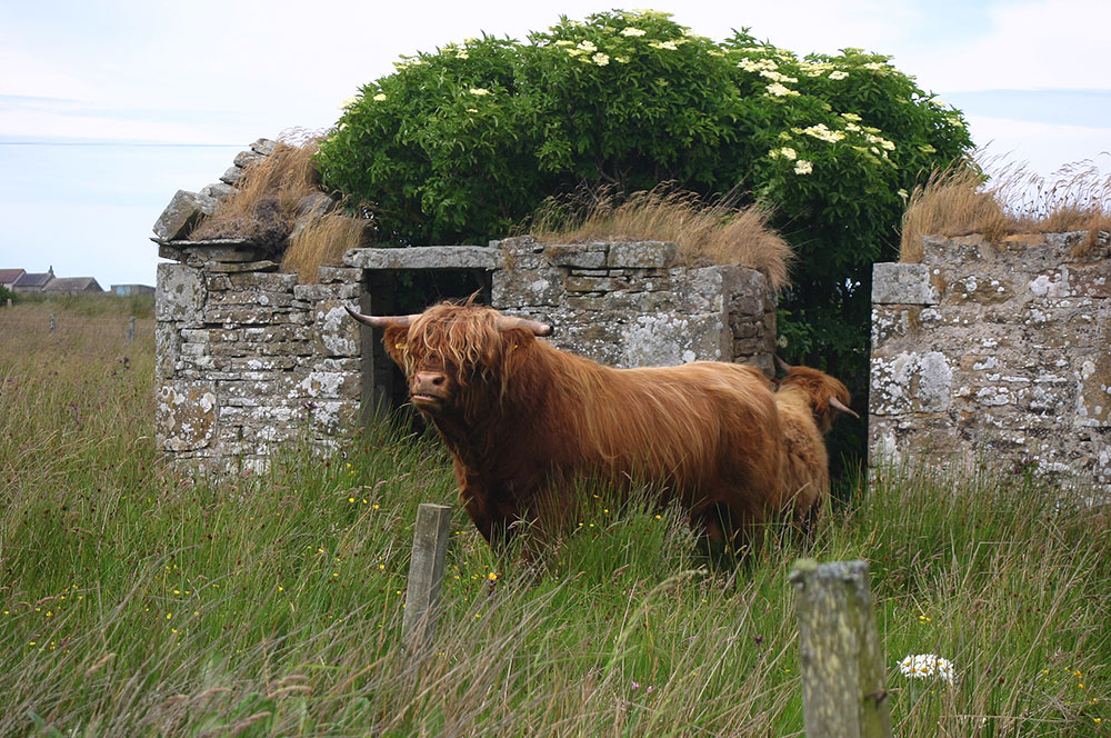highland-cattle.jpg