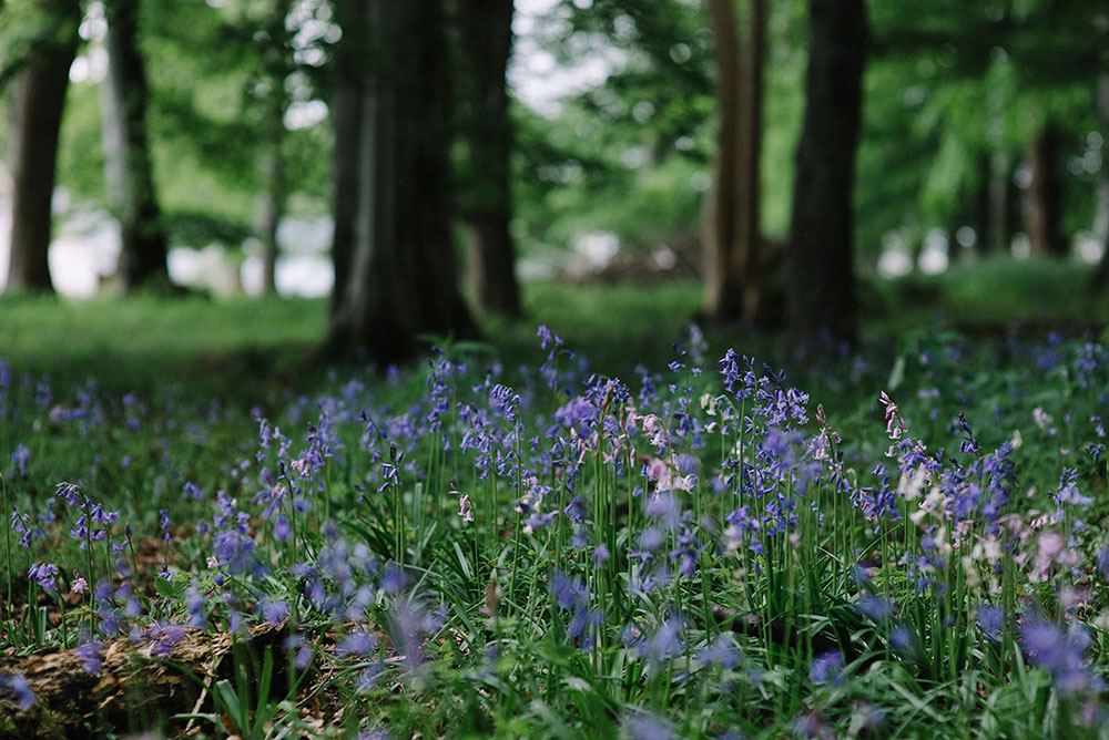 bluebells-at-assynt-house.jpg