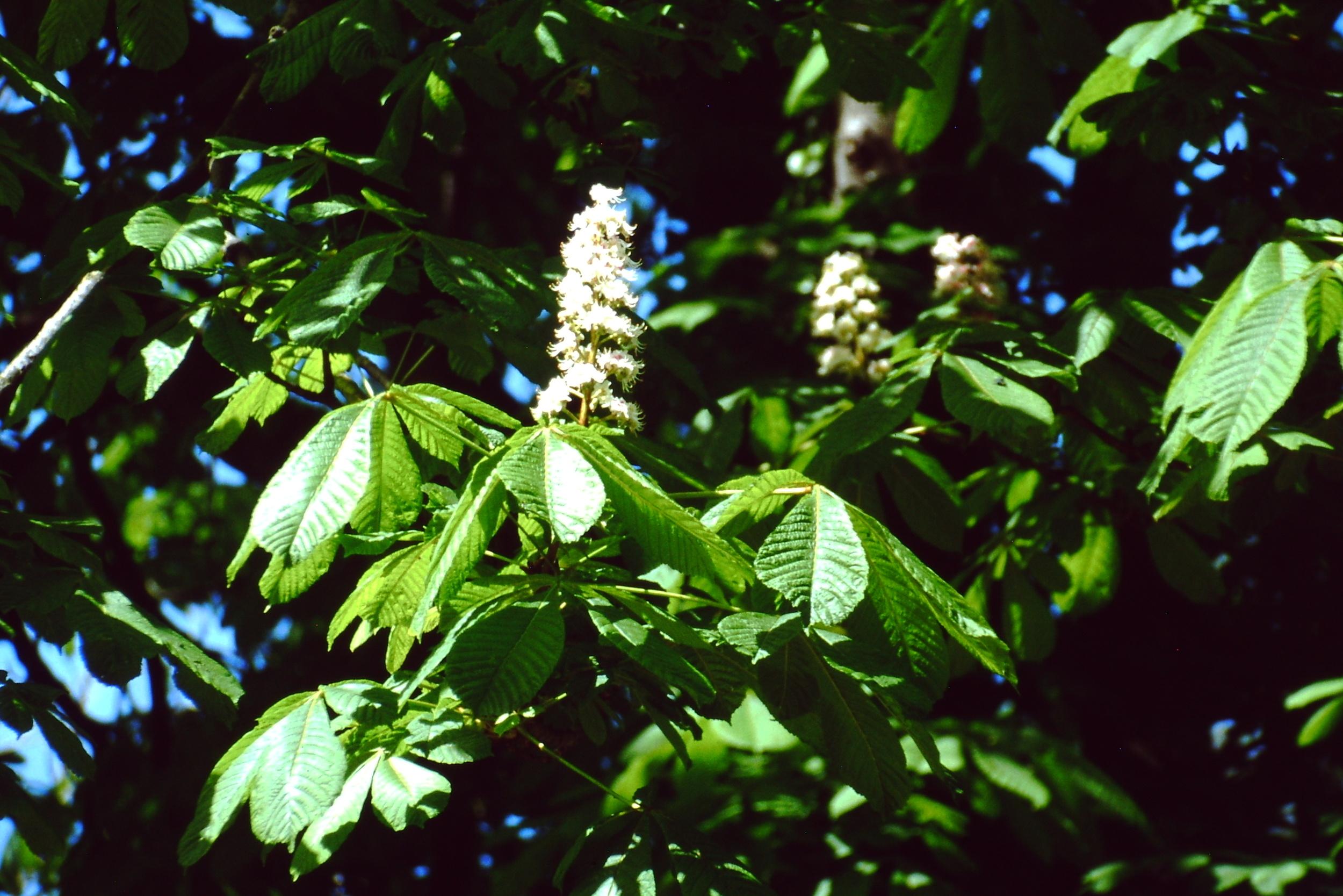 Esta es otra de las flores empleadas por Edward Bach en sus Remedios Florales, la del Castaño de Indias ( Aesculus hippocastanum ).                                                    Copyrigth: Mikel Benito